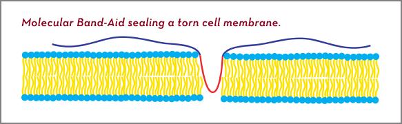 Molecular band-aid
